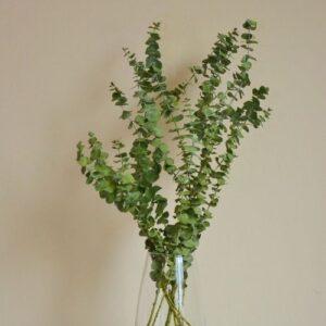 Eukaliptusz, szárított