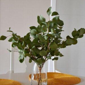 Eukaliptusz populifolia